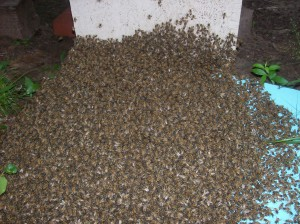 A swarm of wonderful honeybees entering their new home.