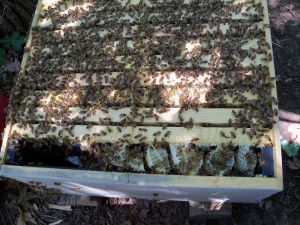 Hive made by dividing up an existing hive. This one got too strong, and filled the inner feeder with comb honey.