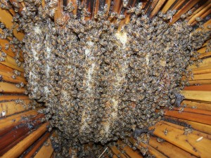 "Beehive in Uganda. These are the so-called ""killer bees"". Pretty calm here!"