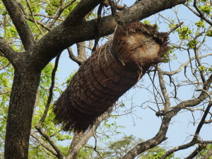 Traditional beehive in Guinea. Most people had these. Unfortunately they can not be worked without destroying them.